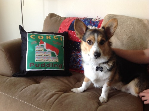 Corman next to my Corgi pudding pillow. The pillow was a birthday present from the best fiancé ever. Submitted by Amy