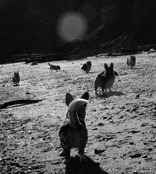 Trip to Point no Point today with a herd of Corgis. Bad lighting, it was super reflective, bright, and the sun was right at all the angles I wanted to shoot from… but… hey, this one came out kind of neat, even with the awful lens flare. :D Count them! Lots of running Corgis!