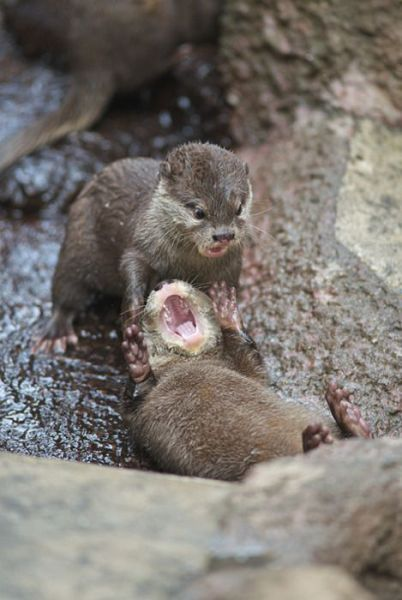 Otter not happy about being in a headlock.