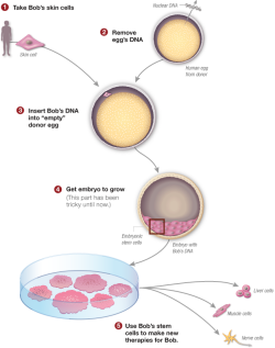 npr:  Scientists Clone Human Embryos To Make Stem Cells : Shots The achievement is a long-sought step toward harnessing the potential power of such cells to treat diseases. But the discovery raises ethical concerns because it brings researchers closer to cloning humans, and involves creating and then destroying human embryos for research purposes. Graphic Source: Mitalipov Lab/OHSUGraphic Credit: Adapted for NPR by Alyson Hurt