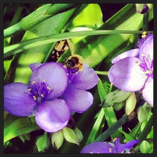 #honeybee #bee #flowers #garden #pretty #nectar