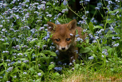 earth-song:  Fox Cub by Alannah Hawker