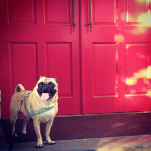 nuggetoflove:  Pugs see in color.  I am sure