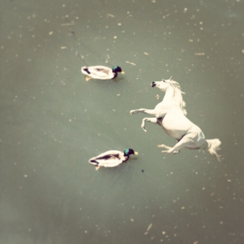 This tiny horse likes swimming with ducks.