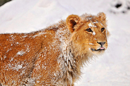 Snowy Jasraj by Tambako the Jaguar on Flickr.