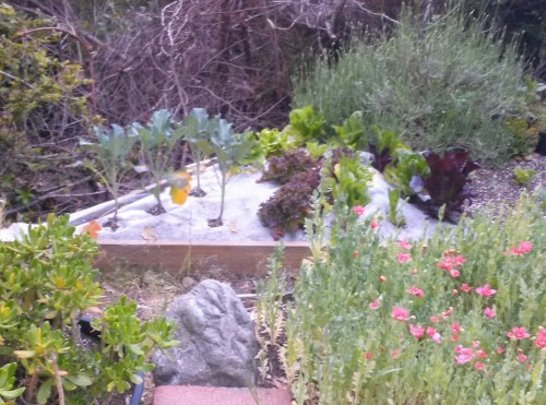 Part of my summer food and medicine garden