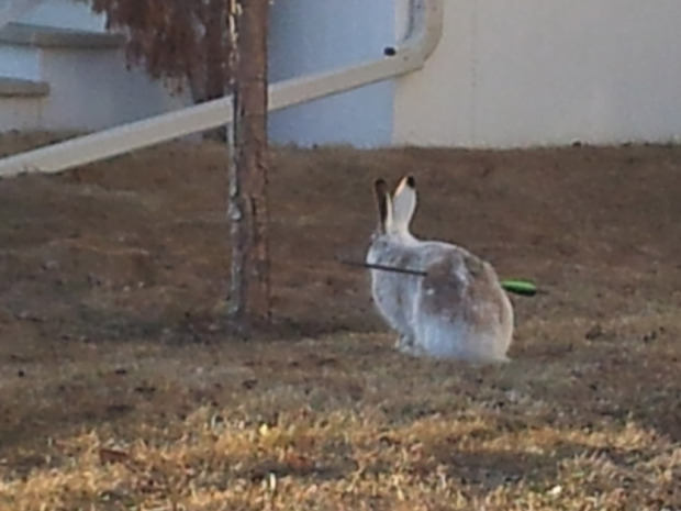 "The mysterious case of Calgary's frolicking arrow-shot bunniesThe calls come every year, around the time that the snow melts and Calgary's plentiful jackrabbit population begins to lose its white winter coat.Residents around the suburban edges of the city peek outside to see a rabbit nibbling on new grass — a common enough sight. But then, something doesn't seem quite right: The rabbit is hopping along, healthy as anything, but what's weird is the arrow — complete with neon tail feathers — piercing the creature clean through.A spokesperson for the Calgary Humane Society said the organization gets about 10 calls like this per year. Police, fish and wildlife or humane officers are dispatched, but more often than not, the bunny is gone before they get to the scene. So far this spring, two targeted rabbits have been caught alive. One survived surgery. The other died. ""I think what it comes down to is that people are just tired of the bunnies. That's probably what we're finding, that in certain areas they certainly are a nuisance.""But to take care of it in this type of a manner is definitely not right,"" said Steve Adair, a detective with the Calgary Police Service.(Jonathon Kettler for Postmedia News)"