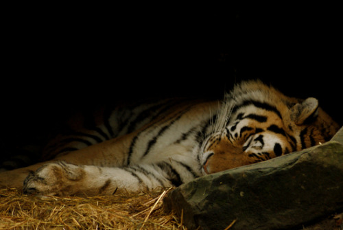 A tiger sleeps the chilly day away.