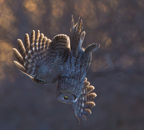 peregrineinastoop:  Great Gray Owl by Richard Dumoulin