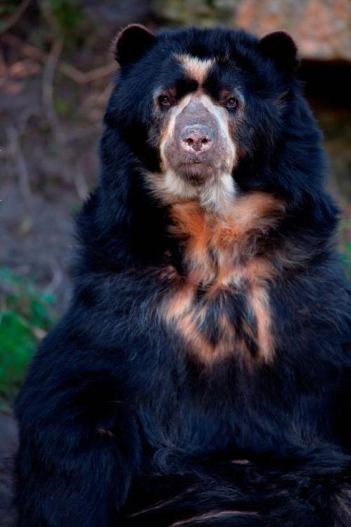 earth-song:  Spectacled Bear by *stuviper