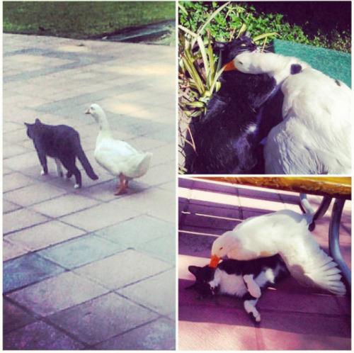 A cat and a duck that live in my university love each other and are together all the time. They are so beloved they even made it to the papers (Click image for article)