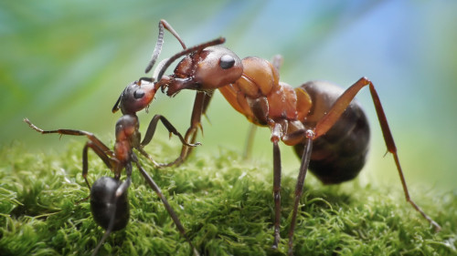 "Ditch Time-Wasting Meetings By Turning Your Office Into An Ant Colony Scientists have started applying lessons from how ants operate to the corporate world. The result: fewer meetings, more time working, and tasks completed much more quickly. Ants may free us from that scourge of modern society: the meeting (and maybe even the overbearing boss). If that sounds like a bit of an exaggeration, know that scientists are serious about recruiting ants to improve human collaboration. Ants pull off remarkable feats of collective cognition and action with no one (not even the queen) running the show. Despite possessing tiny brains, the world's roughly 11,000 species of ants regularly construct massive colonies, share food, repel intruders, and formulate efficient foraging strategies without the help of a single memo or meeting. …Scientists at Wayne State University drafted ant-inspired algorithms to find the optimal balance between the time spent on planning and execution when moving a product from concept to market. You need to find the sweet spot of 'right amount of communication, at right time,' and 'good quality' to make the whole work together seamlessly,"" says Yang by email. Corporate teams waste significant time coordinating among different groups. Managers must always decide (usually sub-optimally) on the tradeoff between time spent in meetings (potentially wasting time) and building something (potentially locking in mistakes).  ""Finding the right balance between 'doing the work' and 'communicating with each other' will achieve wonderful results in job completion time and quality,"" says Yang. His team's study, which appears in the International Journal of Production Research, cut project cycle completion times by 17% (158 to 130.5 days), while raising costs by only 8%.  Yang found that it was far more efficient to make normally separate, sequential tasks (such as communication and execution) a parallel process, rather than strive to keep a perfect balance between them. This incurs some extra costs (rework and extra communication), but the system as a whole functions more efficiently.  How will all this fare in the real world? The model was necessarily oversimplified, so there are plenty of ways for it to derail in the wild.   But since humans have only worked in big teams for a few millennia (and have walked the planet for about 200,000 years), ants' expertise working in tight-knit groups for the last 100 million years might teach us something about collaboration."