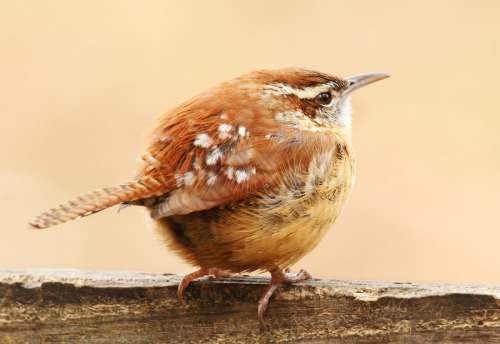 fairy-wren:  carolina wren (photo by lorraine hudgins)