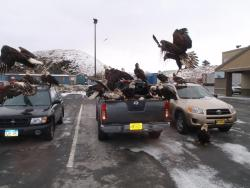 "theweekmagazine:  From KUCB:  A flock of eagles descended on the Safeway parking lot last week, prompting police intervention. Public Safety Director Jamie Sunderland says several people called in short succession on Thursday afternoon to report the melee. Sunderland: ""One of our officers went over there and there were 40 eagles sitting on, in and around several vehicles in the area."" Sunderland says the eagles were feasting on garbage bags of fish product in the bed of a pickup truck.  More: ""Police Break Up Eagle Party at Safeway"""