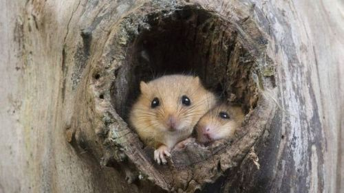 magicalnaturetour:  Common Dormouse (Muscardinus avellanarius) at nest opening in tree trunk, Normandy, France (© Gerard Lacz/Visuals Unlimited, Inc.)