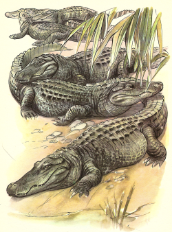 animals vintage inspiration alligator Illustrations crocodile reptiles gharial