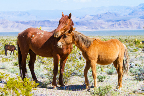 Loving Reassurance on Flickr.Loving Reassurance   Wild Horses Cold Creek, Nevada