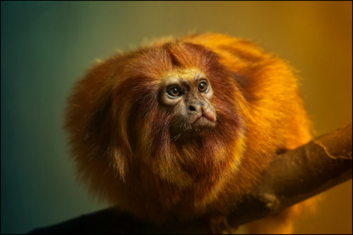 Golden lion tamarin by Sonja probst.