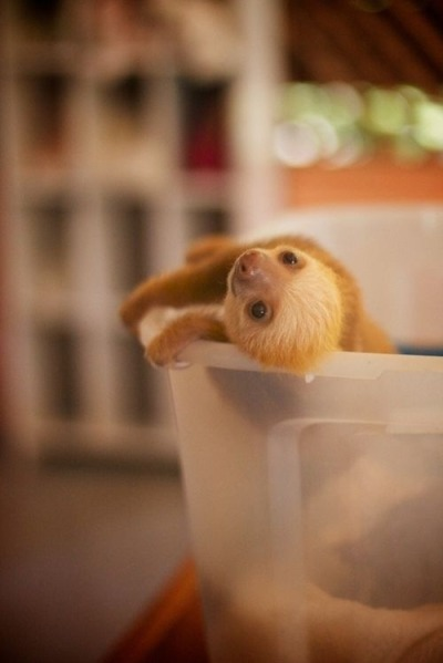 thatslothblog:  polychromatic-atmosphere:  MOTHAFUCKIN BABY SLOTH! <3  -