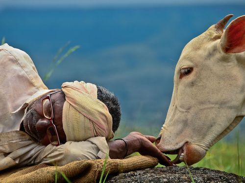 indiaincredible:  Cow and Shepherd