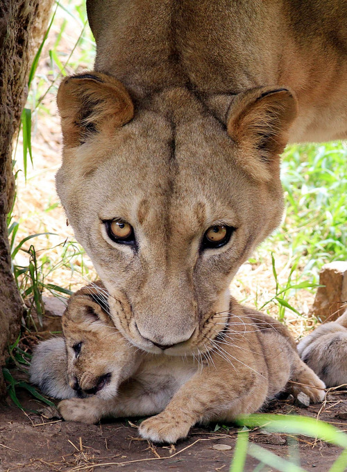 a lioness picks up her cub.
