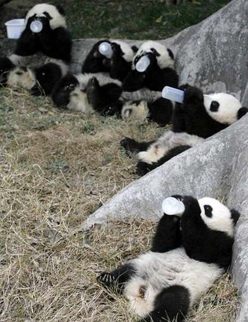 thelandofwtf:  Pandas Drinking Out of Giant Baby Bottles (x-post from r/aww)http://thelandofwtf.tumblr.com    via Reblog for iPad
