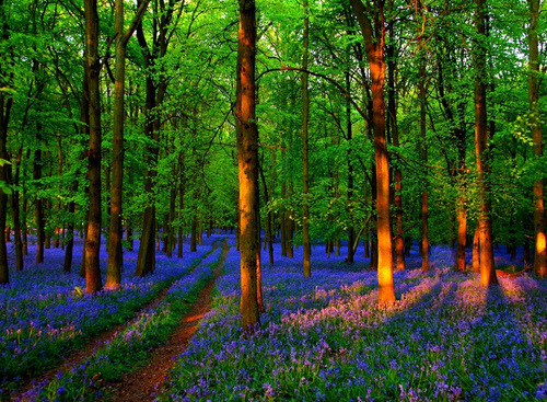 Spring Bluebells, Ringshall, England photo via johanna
