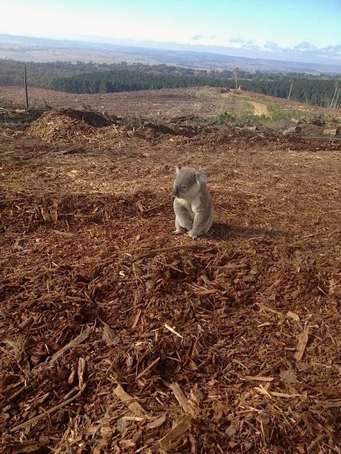 "This koala looks rather sad. But who can blame him? According to Australia's Wildlife Information, Rescue and Education Service (WIRES), the sub-adult male koala was recently discovered sitting atop the remnants of what was once his home in Vittoria State Forest, New South Wales. Although the logging operation was approved by the forestry service, judging by the koala's confused expression, not everyone got the memo. ""Koalas would have been moved out of their homes in preparation for planned logging activities,"" says WIRES general manager, Leanne Taylor. ""It is common for koalas to roam back to their home range afterwards and become confused to find nothing there. A worker noticed a koala had been sitting stationary in broad daylight on top of wood piles for over an hour."" The perplexed marsupial, found to have an injury on its eye, was transfered to a local vet before being relocated once again back into a different patch of forest. Forestry workers found three other koalas at the clearcut site and they were transfered as well. (via Confused koala discovers his home has been cutdown)"