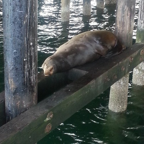 Lazy ass mer-dog, I wish more days were as good as yesterday was #sealion #santacruz #worthit  (at Santa Cruz Beach)