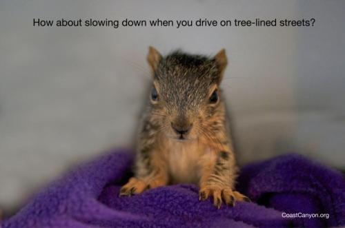 aherdofangryhippies:  llbwwb:  PSA: by Wildlife hotline.I'm going thru this with Deer right now! Reblog to save Squirrels:)  I always make dan slow down to a crawl wherever possible when there are animals/animal habitat near by. This has actually saved many lives.