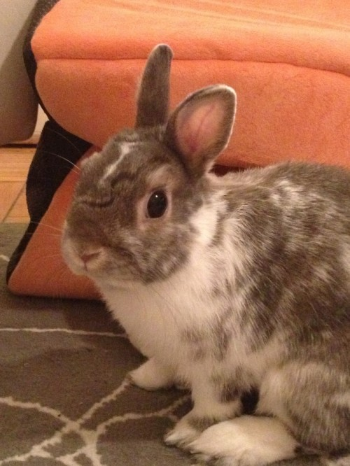 dailybunny:  Harry Potter Bunny Has a Lightning-Shaped Marking Thanks, Kate and bunny Kiba!