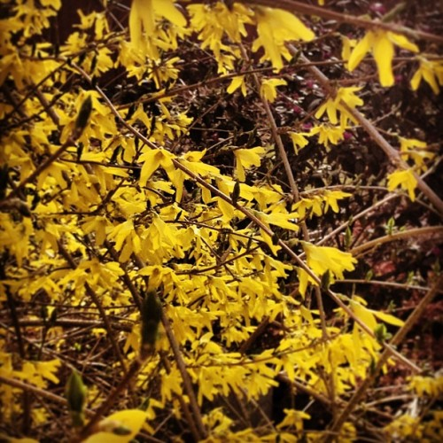 One of my favorites, forsythia.