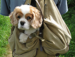 "m3550:  ""I'm lazy…..therefore I love being carried in the bag!"" by Optical illusion on Flickr. Couldn't be more cute  Can't wait to have that baby on my own….. :)"