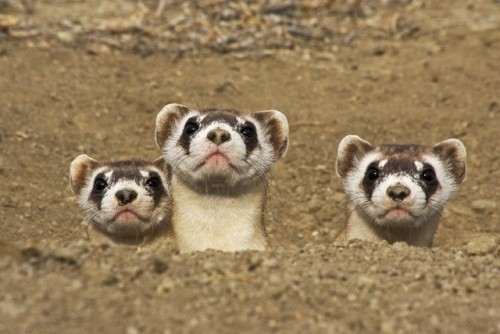 Black-footed ferrets were considered extinct until a small population was discovered in Wyoming in 1981. This prompted the establishment of the Black-Footed Ferret Recovery Program, which bred these masked meat-eating mammals in captivity. In 1991 they began being reintroduced to the prairies of South Dakota, New Mexico, Arizona, Colorado, Wyoming, Montana, Utah, Mexico, and Canada. Source: http://blackfootedferret.org Photo: Wendy Shattil & Bob Rozinski/Getty (via: TakePart.org)