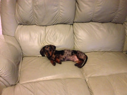 dachshundfrank:  Come snuggle! There's lots of room up here!  my sisters dog, frank he comes to work everyday.