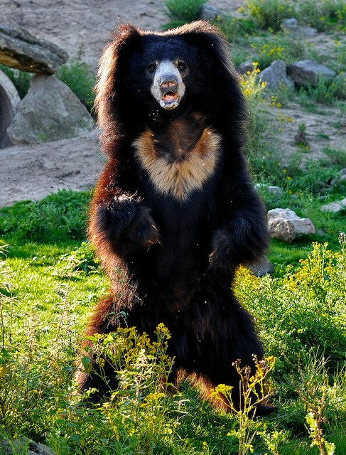 Sloth bear by Supervliegzus on Flickr.