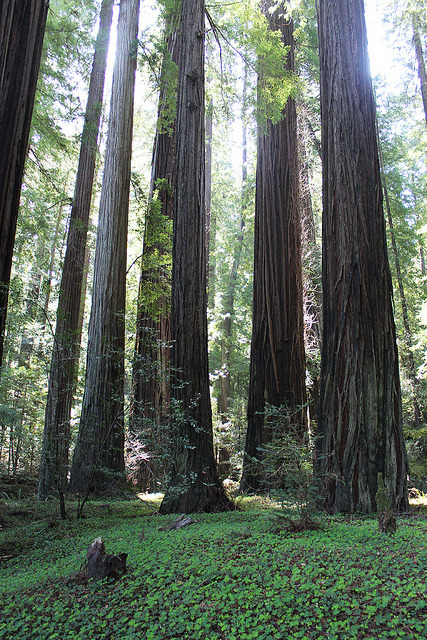 saucy-mermaid:  Redwoods by quiet nymphs on Flickr.