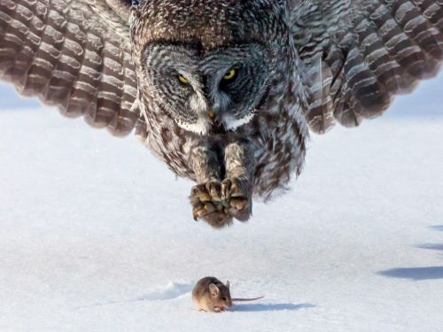earth-song:  Owl and Mouse, Minnesota Photograph by Tom Samuelson, My Shot Great gray owls come south from Canada into Minnesota during the winter to find food. This owl was on the north shore of Lake Superior, just south of Two Harbors, Minnesota. We happened to find him as the sun was setting, and in the evening light, we were able to be in a position to see an owl that was hunting when a mouse came out, and the owl was quick to pounce and pick up an evening meal.