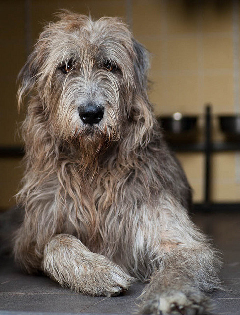 dog-parkk:  Irish Wolfhound Mac by Rob van de Peppel on Flickr.