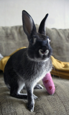 "dailybunny:  Want to Sign Bunny's Cast? Thanks to Tua, who tells us that ""Fredi's leg healed well and now he jumps higher than ever!"""