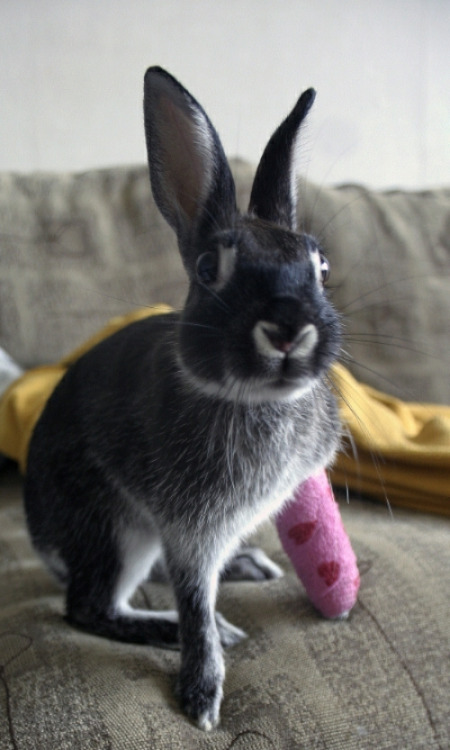"emilynoel:  dailybunny:  Want to Sign Bunny's Cast? Thanks to Tua, who tells us that ""Fredi's leg healed well and now he jumps higher than ever!""  A bunny in a cast…I am literally CRYING ;___;"