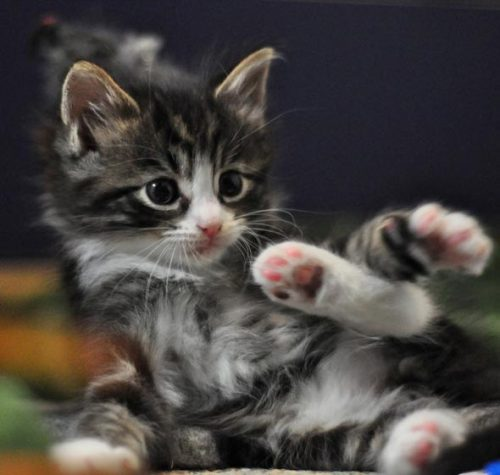 fluffy-kittens:  Ricardo via GoodMorningKitten