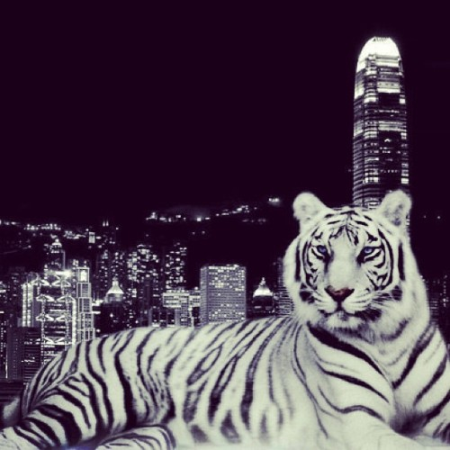 """A tiger doesn't lose sleep over the opinion of sheep."" #fierce #whitetiger #city #lights #quote"