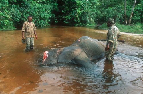 "More elephant slaughters. We're up to 30,000 kills every year now. Assault rifles are the kill tool of choice. Ivory collectors in Japan and China are major drivers of this poaching trend.  Durban - Gunmen allied to the Seleka rebel group, who killed 13 South African soldiers six weeks ago in the Central African Republic (CAR), have started to massacre forest elephants in a World Heritage Site. Rod Cassidy, a South African tour operator who fled the CAR by boat the day after the military coup, said he had received information that a group of at least 17 heavily armed men entered the Dzanga-Sangha national park this week. Gunfire was heard on Tuesday night. The gunmen appeared to be targeting forest elephants at Dzanga-Bai, a world-famous forest clearing and salt-lick where elephants gather every night. A former Durban man, Cassidy set up a tourism lodge in the elephant sanctuary four years ago. He fled from the park with his wife and son on March 24, shortly after the Seleka rebel group entered Bangui, the capital of the republic. ""Gunshots were heard throughout the night. The situation is very worrying for the future of our heritage,"" a senior park official pleaded in an e-mail. ""The government is aware of the massacres. Please put pressure on the NGOs and other partners to save the situation.""  Dzanga-Sangha national park, in the south-western corner of the country bordering Cameroon and the Republic of Congo, was declared part of a three-nation World Heritage Site last year. Officials at the World Heritage Centre in Paris could not be reached for comment on Tuesday night. Late last week, however, Unesco director-general Irina Bokova voiced ""deep concern"" about the looming threat to the park's population of forest elephants, gorillas and bongo antelope. Noting that almost 30,000 elephants were being shot for ivory every year across Africa, Bokova said her organisation was alarmed by the surge in elephant poaching in central Africa and she noted that there had been a series of attacks by armed men in the vicinity of Dzanga-Sangha in recent weeks. The park has more than 3 000 forest elephants, whose ""pink"" ivory is prized in Japan."