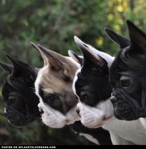 aplacetolovedogs:  Four Adorable Frenchies all lined up in a neat little row Via @ramona_and_tara For more cute dogs and puppies