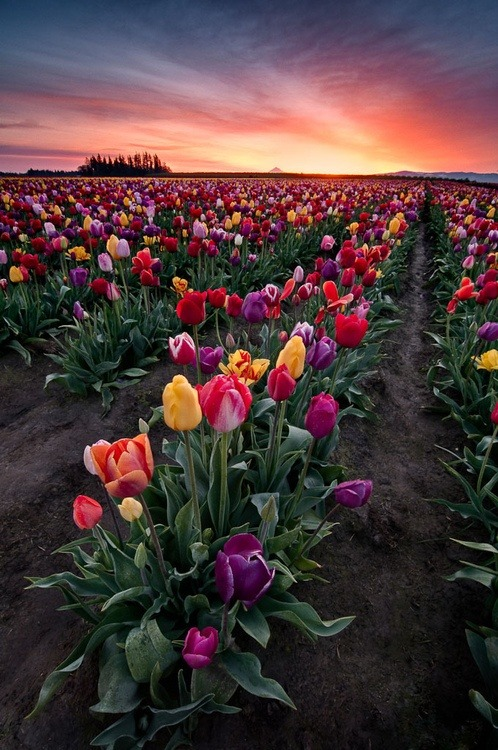 maegankatherine:  blooms in Oregon.