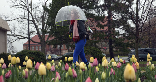 Logan Masenthin, of Kansas City, passed some tulips not ready to open because of the cool weather. Richard Gwin/Lawrence Journal-World
