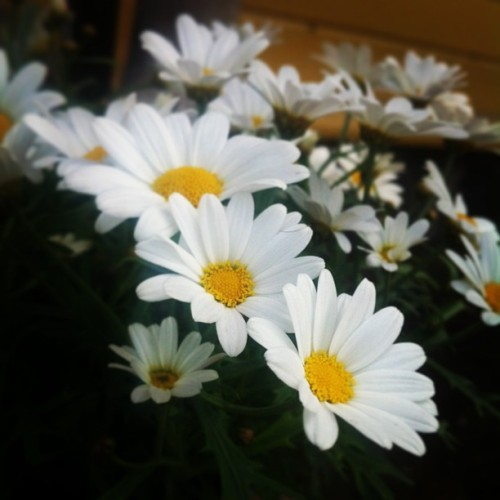 Daisies 🌸 #daisy #daisies #flower #flowers #nature #beautiful #instabeauty #photobyme #summer 🌼 (på/i Ekman's place)