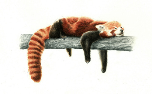 Long time without posting anything …  Here you have: Ailurus fulgens, the red panda. Scientific illustration.  http://cargocollective.com/munmore