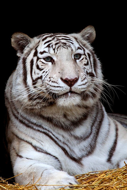 theanimaleffect:  White tiger by Berendje Photography1 on Flickr.